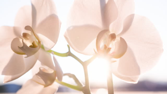 orchid blossoms - orchid stock videos & royalty-free footage