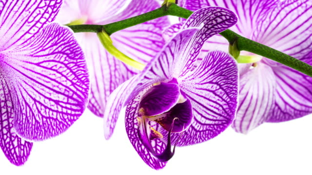 orchid close up (4k hd available) - white background stock videos & royalty-free footage