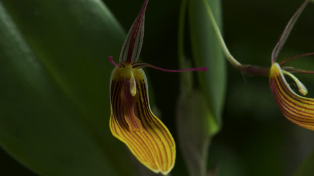 TL Orchid flower opens, UK