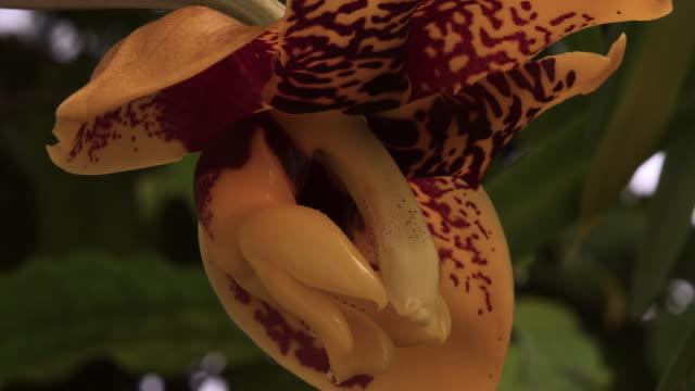 tl orchid flower opens, uk - meraviglie della natura video stock e b–roll