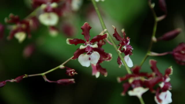 cu orchid flower shaking by wind / onomea, big island,hawaii, united states - exoticism stock videos & royalty-free footage