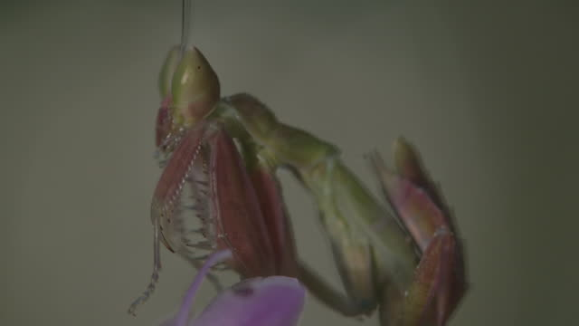 orchid mantis grooming itself on flower - orchid stock videos & royalty-free footage