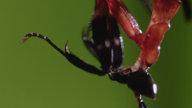 Orchid mantis grooms itself