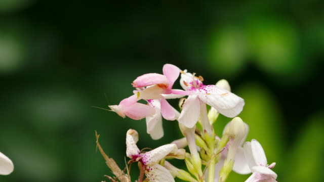 Orchid Mantis in camouflage waiting to hunt a prey (Indonesia)