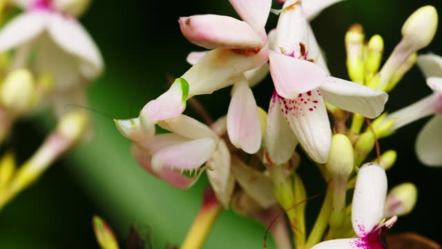 orchid mantis in camouflage waiting to hunt a prey (indonesia) - camouflage stock videos & royalty-free footage