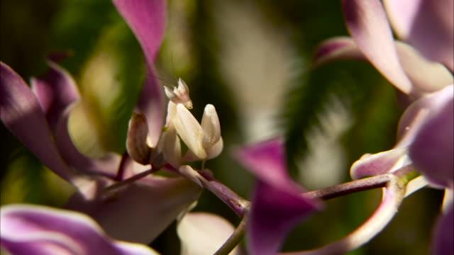 orchid mantis, malaysia. - ラン点の映像素材/bロール