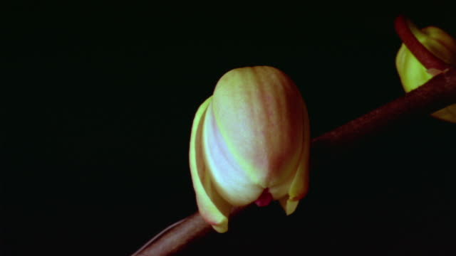 t/l, ecu, orchid opening against black background  - orchid stock videos and b-roll footage