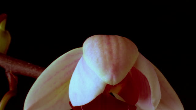 t/l, ecu, orchid opening against black background  - orchid stock videos & royalty-free footage