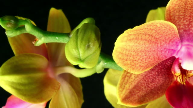 orchid phalaenopsis  blooming  hd, pal and ntsc - orchid stock videos & royalty-free footage