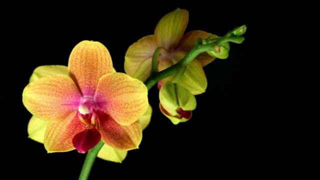 vídeos y material grabado en eventos de stock de orquídea phalaenopsis flor abriéndose de alta definición - menos de diez segundos