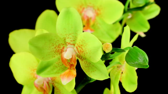 orchid phalaenopsis  blooming  hd - tropical flower stock videos and b-roll footage