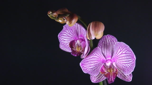 Orchid Mother Eröffnung