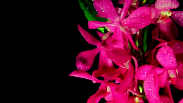 orchid - tropical flower stock videos and b-roll footage