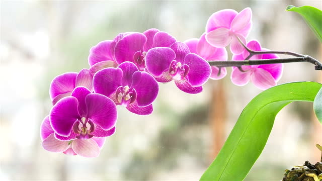 orchid. water mist envelops the orchid. - houseplant stock videos and b-roll footage
