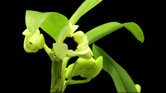 orchids bloom and grow. - orchid stock videos & royalty-free footage