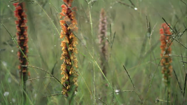 Orchids (Satyrium sp.) flowering in rainy meadow, Kitulo, Tanzania