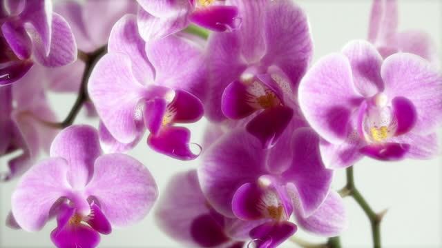 vidéos et rushes de orchids / orchidaceae /. extreme close-up. - composition florale