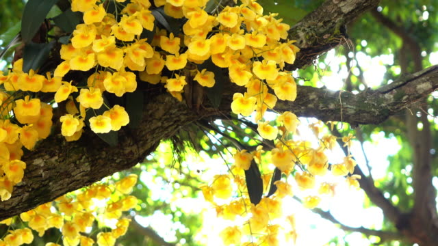 Orchids yellow flower