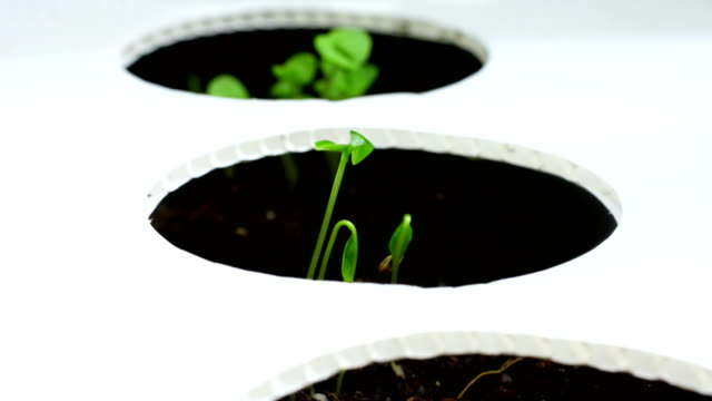 oregano seeds growing in time lapse video - seed box - basil stock videos & royalty-free footage