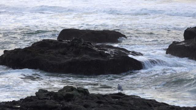 oregon bird on rock by sea - wasservogel stock-videos und b-roll-filmmaterial