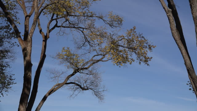 oregon cottonwood tree branch and blue sky - cottonwood tree stock videos and b-roll footage