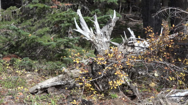 oregon fall woods zoom from downed tree - alder tree stock videos & royalty-free footage