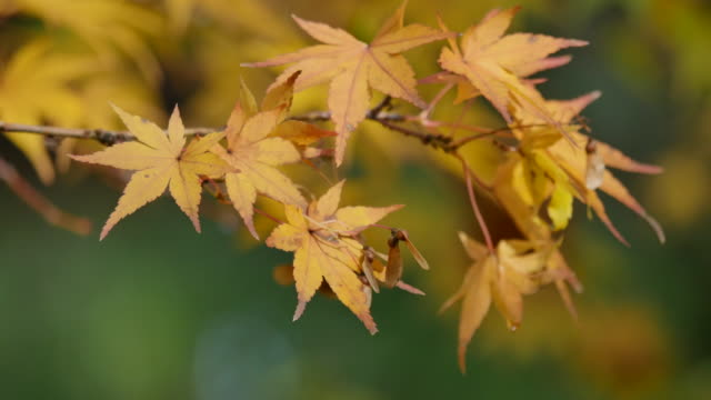 Oregon Japanese maple leaves and seeds