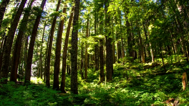 oregon lush forest - douglas fir stock videos and b-roll footage