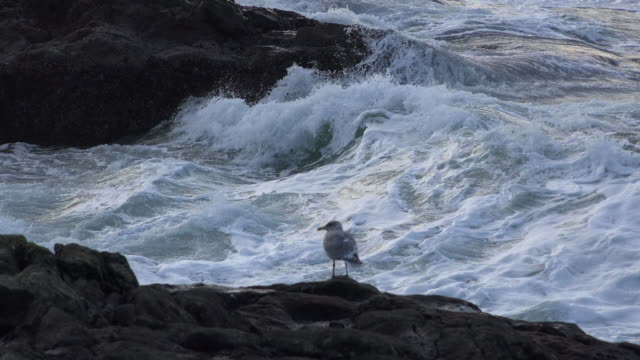 oregon waves beyond seagull on rock - wasservogel stock-videos und b-roll-filmmaterial