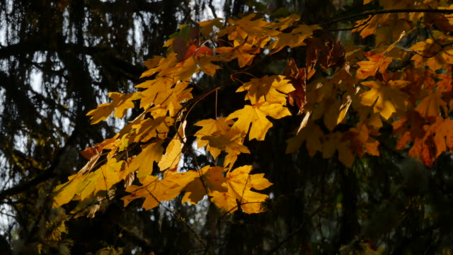 oregon yellow leaves with sun shining through - bigleaf maple stock videos and b-roll footage