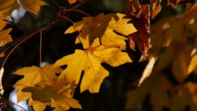 oregon yellow maple leaves glowing - bigleaf maple stock videos and b-roll footage