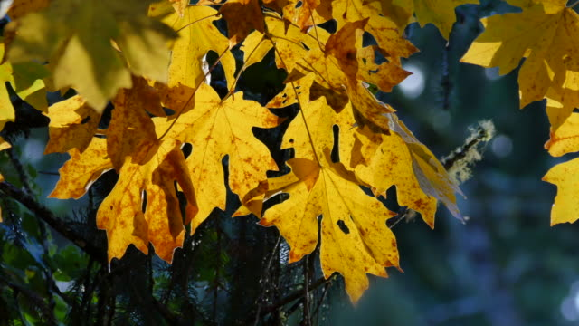 oregon yellow maple leaves with brown spots - bigleaf maple stock videos and b-roll footage