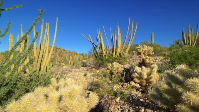 organ pipe cactus national monument desert landscape, arizona, fly through - cactus stock videos & royalty-free footage