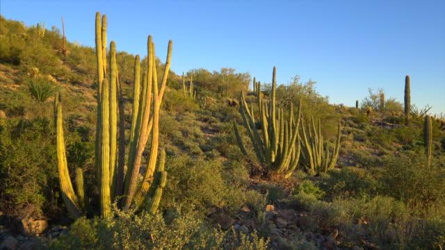 organ pipe cactus national monument desert landscape, arizona - 針状葉点の映像素材/bロール