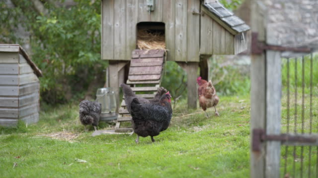 organic chickens roaming the yard - chicken coop stock videos & royalty-free footage