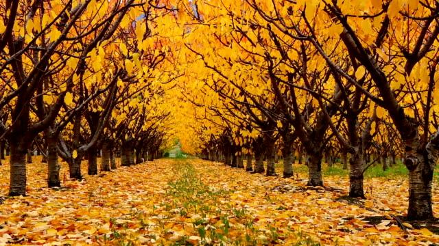 organic farm cherry orchard okanagan valley - beauty in nature stock videos & royalty-free footage