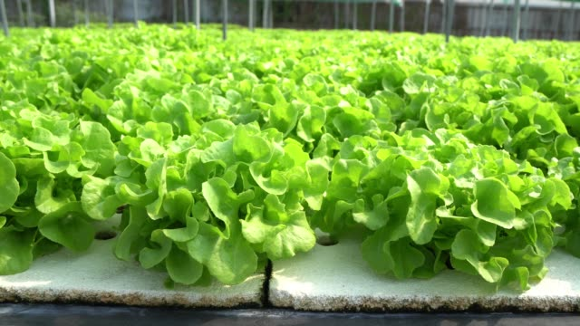 organic farm green oak lettuce close up and dolly shot - land vehicle stock videos & royalty-free footage