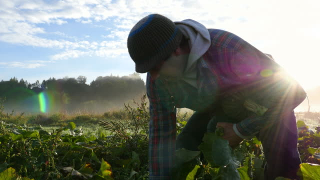 vidéos et rushes de ms tu pan organic farm owner harvesting squash with employees in field on fall morning at sunrise - producteur