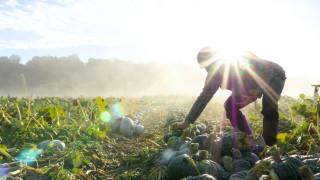 vídeos y material grabado en eventos de stock de ms organic farm owner lining up squash during harvest on fall morning at sunrise - escena rural