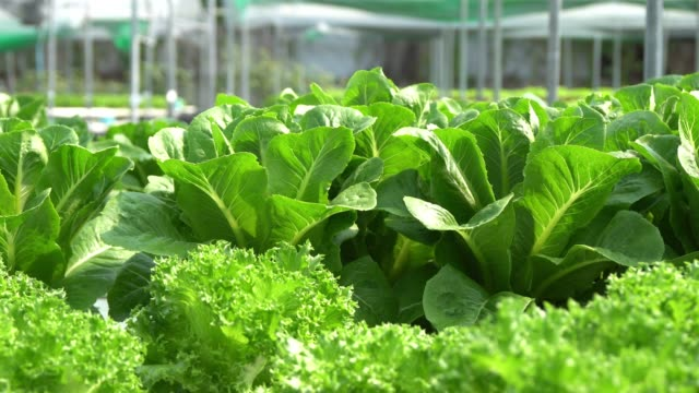 organic farm with agriculture vegetable hydroponic. - hydroponics stock videos & royalty-free footage