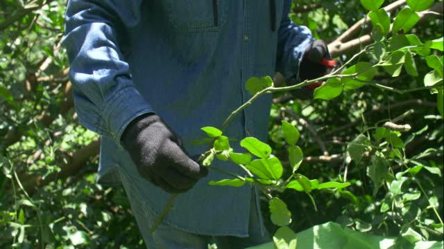 Organic farmer harvesting organic fresh bergamot.
