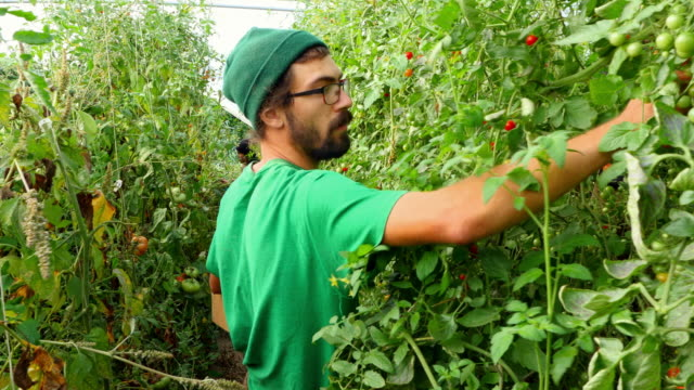 ms organic farmer harvesting organic tomatoes in greenhouse - gärtnern stock-videos und b-roll-filmmaterial