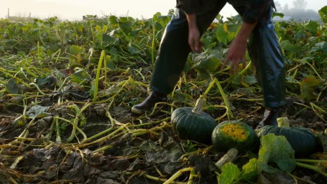 MS TD Organic farmer harvesting squash in field on fall morning at sunrise