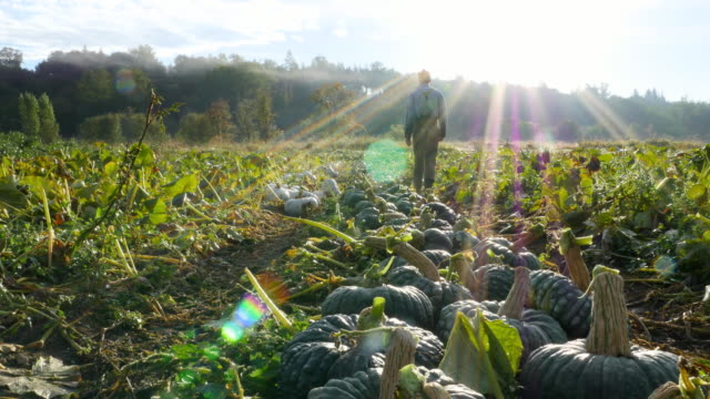 vídeos de stock e filmes b-roll de ms la organic farmer walking through squash field during harvest on fall morning rear view - legumes