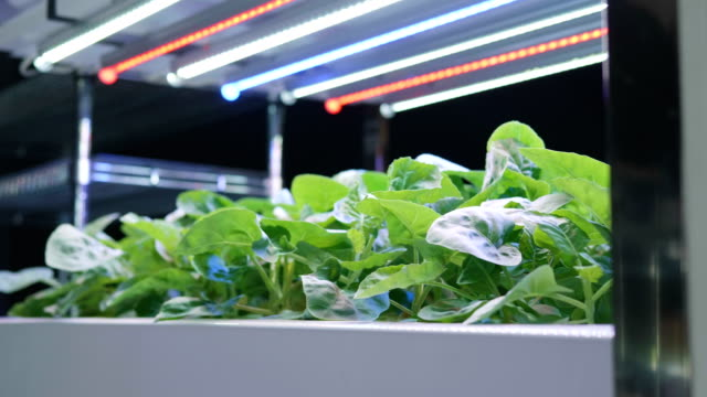 organic hydroponic vegetable cultivation farm , green hydroponic organic salad vegetable indoor. - hydroponics stock videos & royalty-free footage