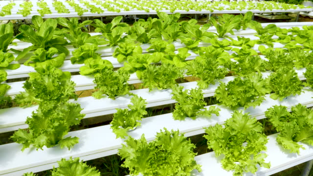 Organic Hydroponic Vegetables