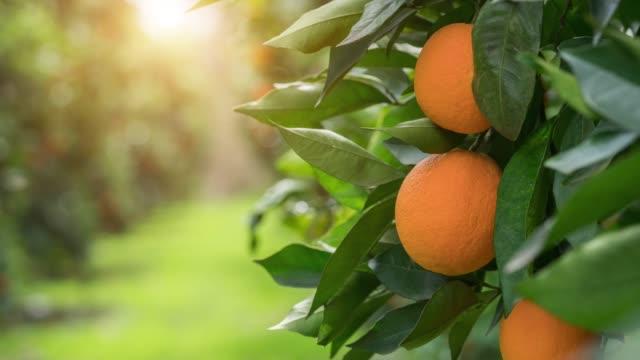 vídeos de stock e filmes b-roll de organic oranges, on homegrown orange tree - citrino