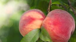 Organic Peaches on peach tree branches
