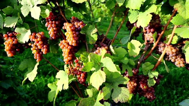 organic ripe pinot gris grapes - gris stock videos & royalty-free footage