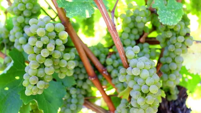 organic suavignon grapes okanagan valley - grape stock videos & royalty-free footage